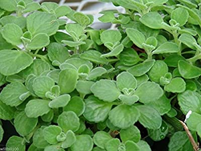 1000 Seeds - Cuban Oregano Seeds,AKA (Broad Leaf Thyme) Spanish thyme,Mexican Mint,Hung chanh