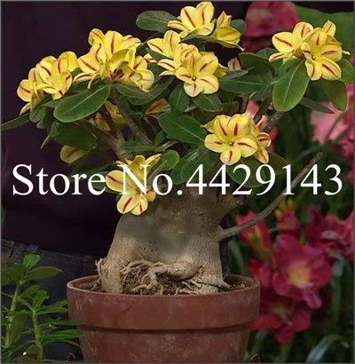 Pinkdose Hot Sale 4 Pcs Heirloom Desert Rose Bonsai Indoor Blooming