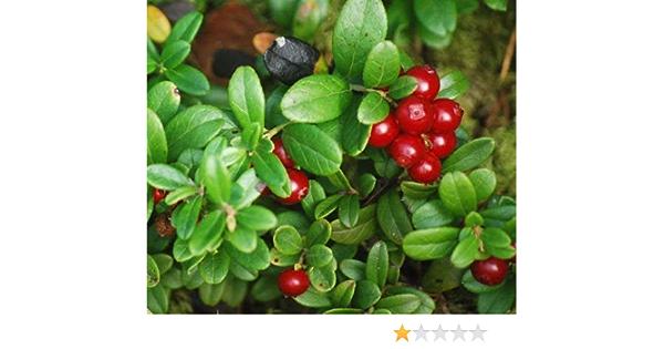 Perennial evergreen shrub Seeds Vaccinium Vitis-idaea 10 pcs Mountain Cranberry