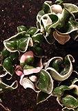 "HIGH Germination Seeds:Variegated Hoya CARNOSA A 'Hindu ', Hoya CARNOSA CRISPA 2 1/4"" Pot"