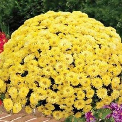 100pcs / bag cubre suelos semillas crisantemo, crisantemo planta perenne bonsai semillas de flores de margarita en maceta para el jardín de la casa blanca: Amazon.es: Jardín