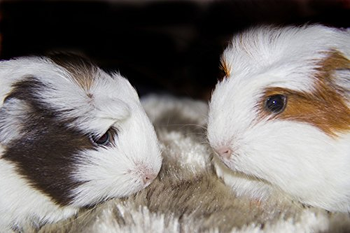 Home Comforts LAMINATED POSTER Pig Furry Guinea Pigs Pets Gu