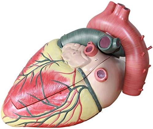 LBYLYH Modelar Doctor Humano Corazón, Cardiología, Ecografía Doppler Color Digitales Extraíble Y El Modelo Cardiovascular, Conveniente para Los Estudiantes, Profesores Y Profesionales