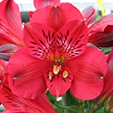 """Red Dwarf Alstroemeria Inca Bandit- Peruvian Lily - Princess Lily - 1 Lush Blooming Size Plant in 4"""" Container 