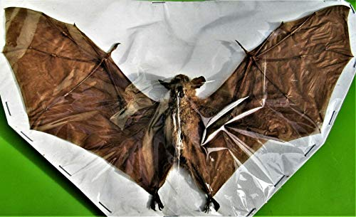 Dagger Toothed Long Nosed Fruit Bat Macroglossus Minimus Full Spread Taxidermy