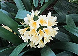 Clivia miniata or Bush lily It grows to a height of about 18 inches .