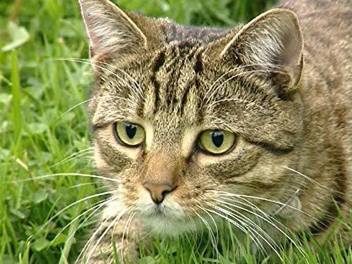 The Territorial Cat (Cat Documentary)