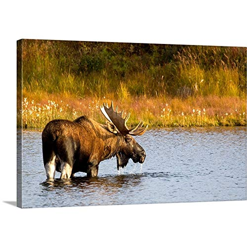 GREATBIGCANVAS Gallery-Wrapped Canvas Entitled A Large Bull Moose wades Through a permafrost Pond in Denali National Park by Ken Baehr 18