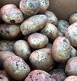 Katahdin Potato - 2 lbs Certified Seed (Tuber)