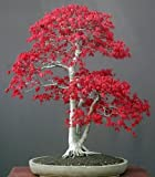 Acer palmatum atropurpureum - 20 graines
