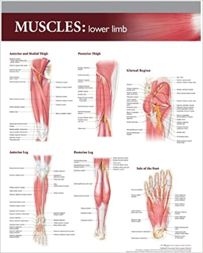 Lippincott Williams Wilkins Atlas Of Anatomy Musculature Chart