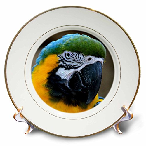 3dRose cp_178424_1 Blue and Gold Macaw Parrot Head View C Porcelain Plate, (Macaw Plate)