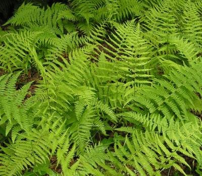 Classy Groundcovers - Dennstaedtia punctilobula {10 Bare Root Plants} by Classy Groundcovers (Image #8)