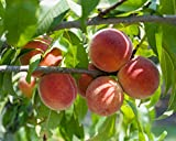 Red Haven Peach Tree Semi-Dwarf - Healthy - Established - One Gallon Trade Potted - 1 Each by Growers Solution