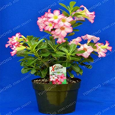 PVC Women - Desert Rose Bonsai Potted Flowers Obesum Color Optional 100% True in Kind Shooting 1 Particles/Lot: Garden & Outdoor