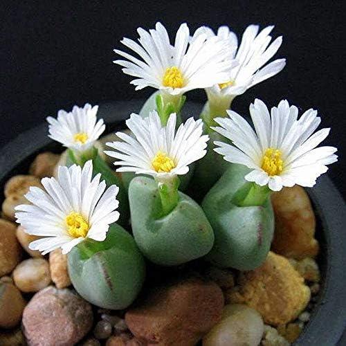 100 piezas de semillas de flores blancas Lithops planta semillas de flores de piedra cruda decoración de jardín semillas de flores bonsai: Amazon.es: Jardín