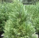 Leyland Cypress, 20 plants, upright evergreen plant, plants