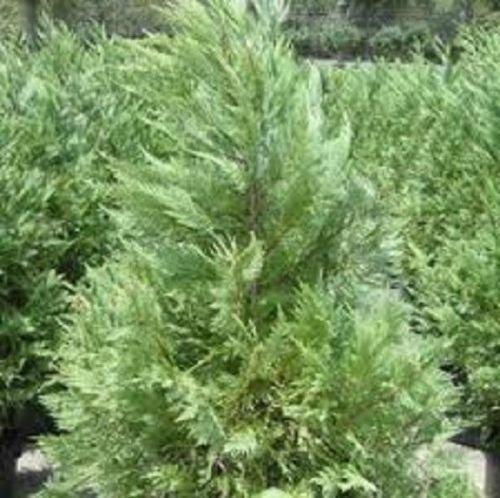 Leyland Cypress, 20 plants, upright evergreen plant, plants