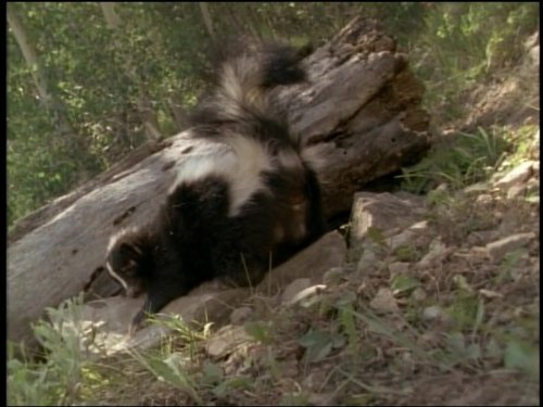 - Those Smelly Skunks