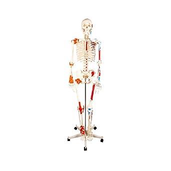 Esqueleto Humano De Medio Músculo Para Colorear La Mitad Del