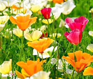 CALIFORNIA POPPY MIXED COLORS Eschscholzia Californica - 50,000 Bulk Seeds