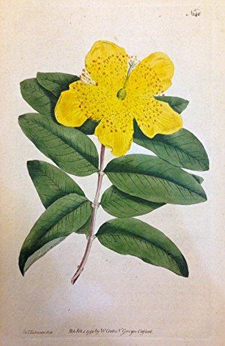 N. 146 (Hypericum Calycinum. Large - Flower'd St. John's Wort.)