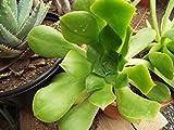 """Aeonium~ urbicum 'Dinner Plate' Rosettes 8-10"""" Wide Bare Root Plant"""