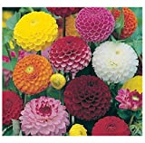 DAHLIA - POMPONE DOUBLE MIXED - 200 FINEST SEEDS