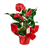 #4: KaBloom Live Plant Collection: 15'' Red Anthurium Plant in a 6'' Red Mylar Pot