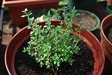 Thyme Herb Seeds- Common- Heirloom Variety- 500+ Seeds