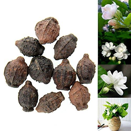 (BigFamily 10pcs Gardenia Jasmine Jasminiodes White Shrub Aromatic Fragrance Flower Seeds)