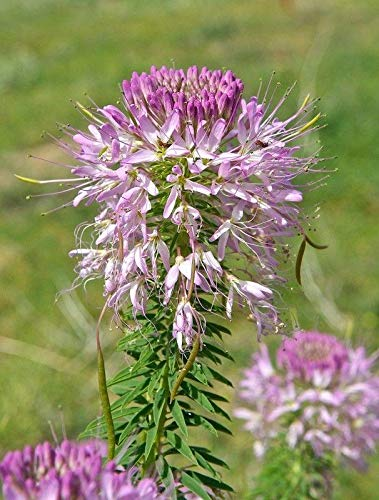 Rocky Mountain Bee Plant Seeds (40 Seed Pack) ()