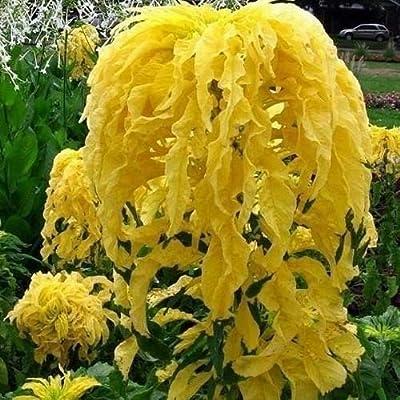 200+ Amaranthus Joseph's Coat Seeds (Yellow) - Rare Flower Succulen Tree Fruit Seeds Summer Spring Garden(200-800 Seeds) : Garden & Outdoor