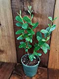 "Pineapple Guava 4"" Pot ACCA/Feijoa sellowiana Tropical Fruit Tree Live -  7 continent"