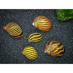 Aquatic Arts 3 Live Zebra Nerite Snails | Algae Remover/Substrate Cleaner/Aquarium Filter | Safe in Freshwater Tetra/Guppy/Betta Fish Tanks