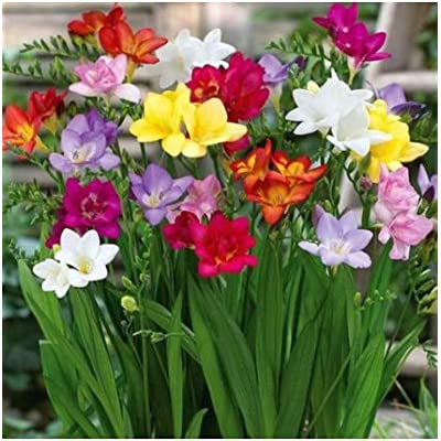 Humany flowerseeds- 100 Pieces Stuffed Fragrance Freesia Hybrid Blend, Rare Freesia Seeds Ornamental Seeds Hardy Perennial Flowers for Balcony, Garden : Garden & Outdoor