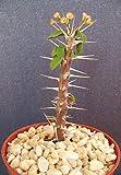 """Euphorbia DELPHINENSIS Exotic Rare Cactus Plant Cacti Bonsai Succulent 4"""" Pot"""