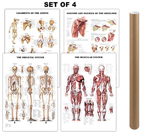 and Skeletal System Anatomical Laminated Posters with Ligaments of The Joints and Injuries of The Shoulder Poster/Skeleton Poster Pack Human Anatomy Poster Medical Poster 17 x24 ()