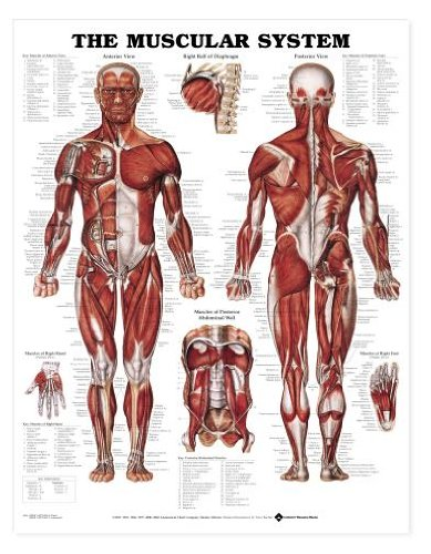 The Muscular System Anatomical Chart Poster Print Laminated Poster 20 x (Human Body Anatomy Chart)