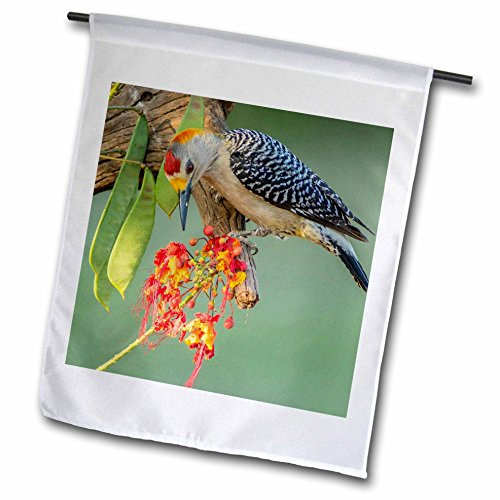 3dRose Danita Delimont - Birds - USA, Texas, Hidalgo County. Golden-fronted woodpecker eating flowers - 18 x 27 inch Garden Flag (Hidalgo Flower)