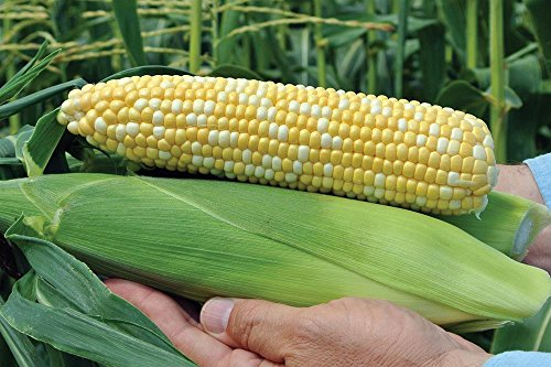 Aces Hybrid Sweet Corn, Yellow Extra Sweet, Corn Seeds for Planting 150 Seed