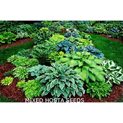 Beautiful Mixed Hosta Seeds! 15 Seeds COMB S/H! Over 100 Variety's in our store! : Garden & Outdoor