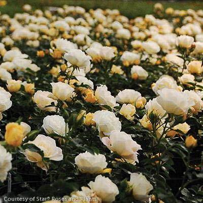 Popcorn Drift Rose : Garden & Outdoor