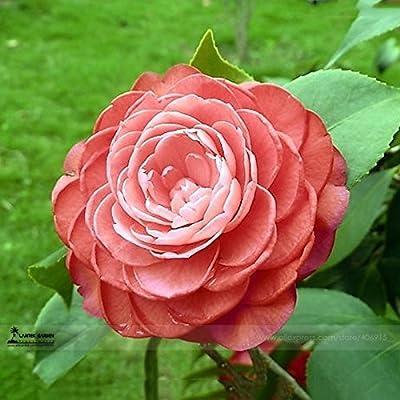 Kasuki Light Fragrant 'Garnet' Rose Bonsai Flowers, 50pcs/Pack, E-Z to Grow #LG00030: Garden & Outdoor