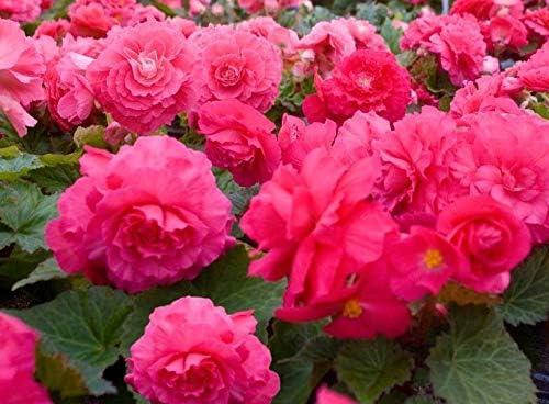 Begonia Nonstop/® DEEP Rose Bedding Plant 6 Pack Garden Ready Plants