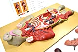 Premium Model Pig Dissection - Eisco Labs