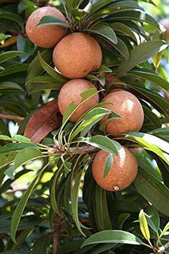 ARLO Dwarf Rare Hybrid Fruit Live Plant – Grafted Sweet Pouteria Sapota Thai Chikoo Fruit Plant (1 Healthy Plant)