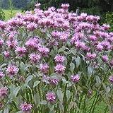 Outsidepride Monarda Fistulosa Mintleaf Bee Balm - 1,000 Seeds