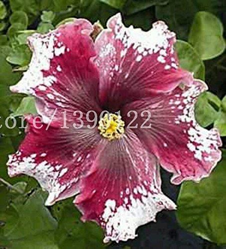 Fiori Hibiscus.100 Semi Di Pcs Gigante Di Fiori Di Ibisco Cinese Fiore A Buon