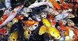 Koi - 140 Live Koi Fish for Pond, Fish Tank or Aquarium | Lot of 140 Standard Fin Grade A Quality Koi (3-4 inch)